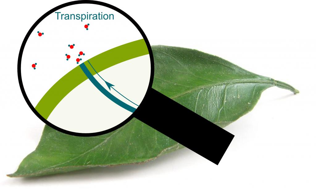 Transpiration through Pores