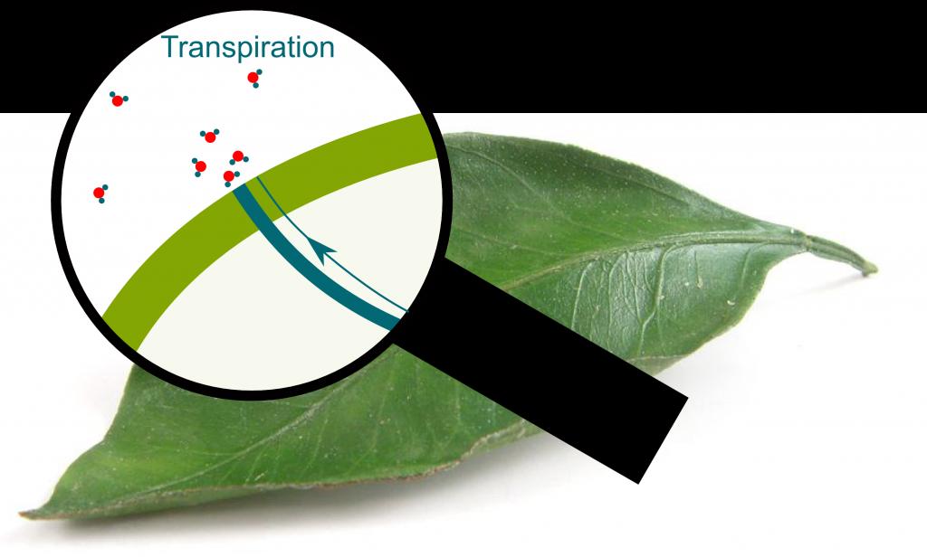 Transpiration through Pores