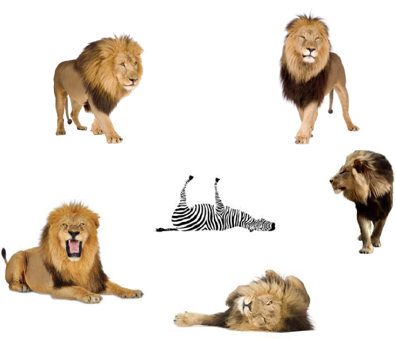 Lions and a Dead Zebra